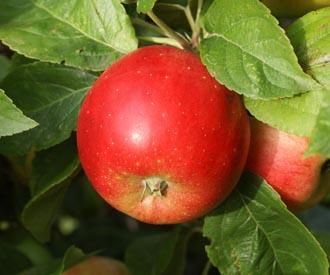 Apple - Hunt's Early