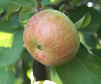 Apple - Irish Peach