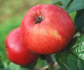 Apple - James Lawson