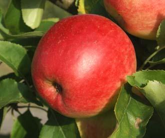 Apple - Jester