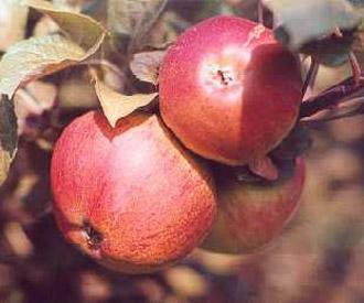 Apple - John Apple