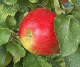 Apple - Jumbo