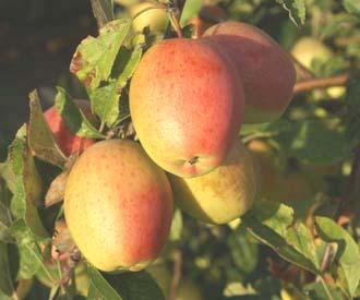 Apple - Kandil Sinap