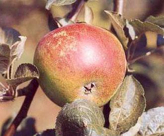 Apple - Kentish Fillbasket