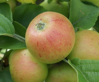 Apple - Kerry Pippin