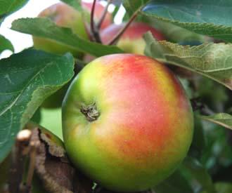 Apple - la Gaillarde