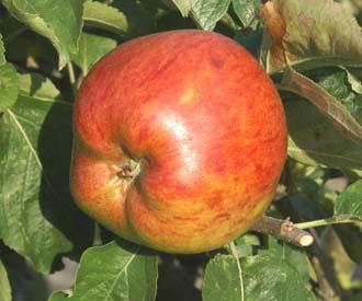 Apple - Lady Henniker