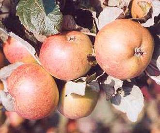 Apple - Lamb Abbey Pearmain