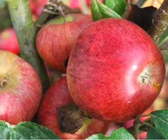 Apple - Lamb's Seedling