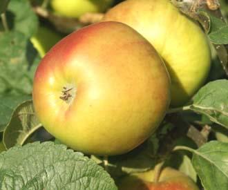 Apple - Landsberger Reinette