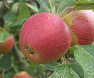 Apple - Laxton's Superb