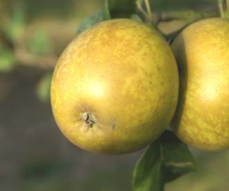 Apple - Lemon Pippin