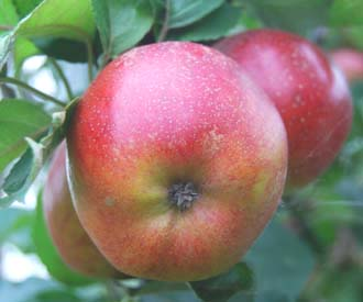 Apple - Lord Burghley
