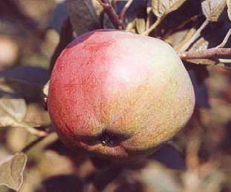 Apple - Lord Stradbroke