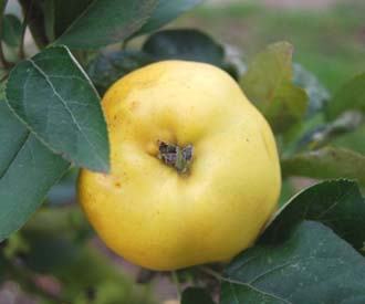 Apple - Lucombe's Seedling