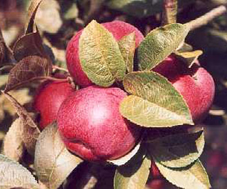 Apple - McIntosh Red