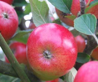Apple - Meridian