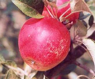 Apple - Merton Worcester