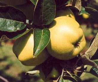 Apple - Morgan Sweet