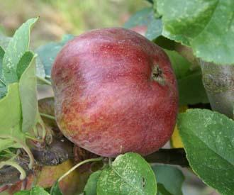Apple - Nancy Jackson