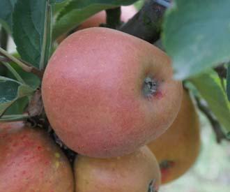 Apple - Norfolk Royal Russet