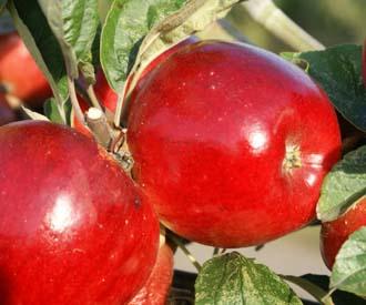 Apple - Norfolk Royal