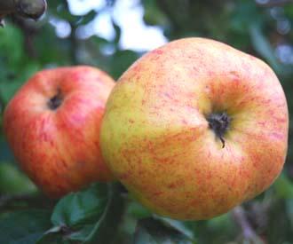 Apple - Norfolk Summer Broadend