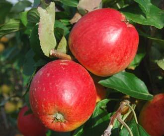 Apple - Nuvar Cheerfull Gold
