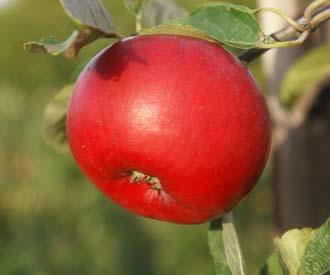 Apple - Opal