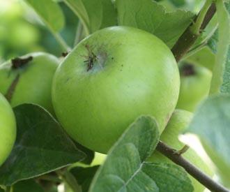 Apple - Oslin