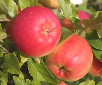 Apple - Otava