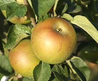 Apple - Oxford Conquest