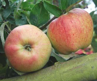 Apple - Pancake Apple