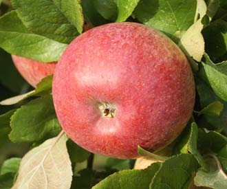 Apple - Peasgood's Nonsuch