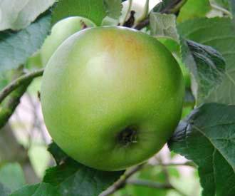 Apple -  Peck's Pleasant