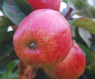 Apple - Pickering's Seedling