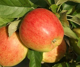 Apple - Pinova