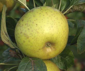Apple - Pitmaston Russet Nonpareil