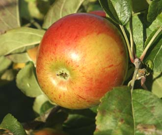 Granny Smith Apple Trees For Sale Order Online
