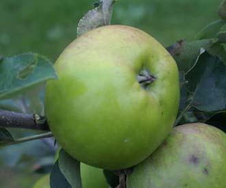 Apple - Ponsford