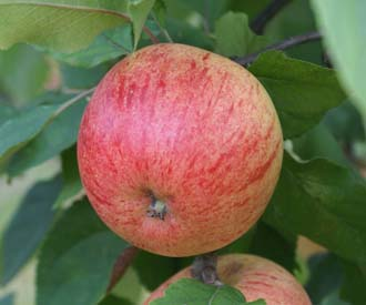 Apple - Prince Charles
