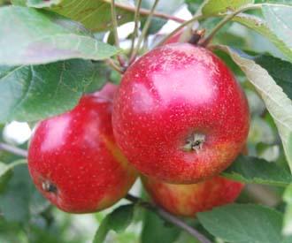 Apple - Purpurroter Cousinot
