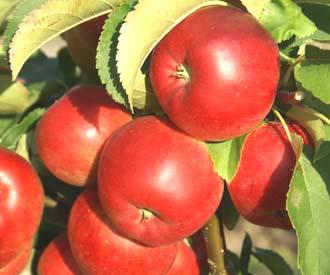 Apple - Rajka