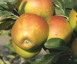 Apple - Rosemary Russet