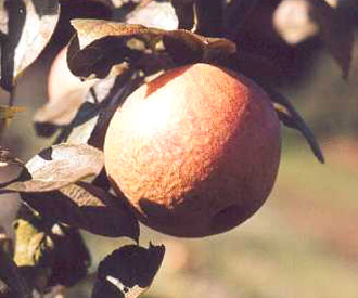 Apple - Ross Nonpareil