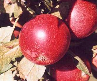 Apple - Rubens