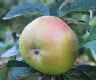 Apple - Sandringham