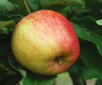 Apple - Sanspareil