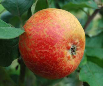 Apple - Scarlet Crofton