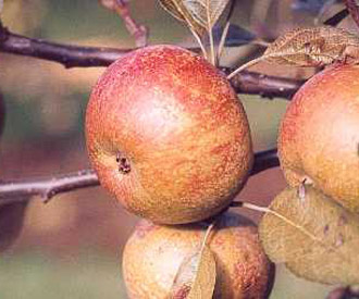 Apple - Scarlet Nonpareil